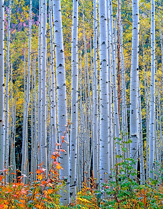 Autumn Aspen, Marble, Colorado
